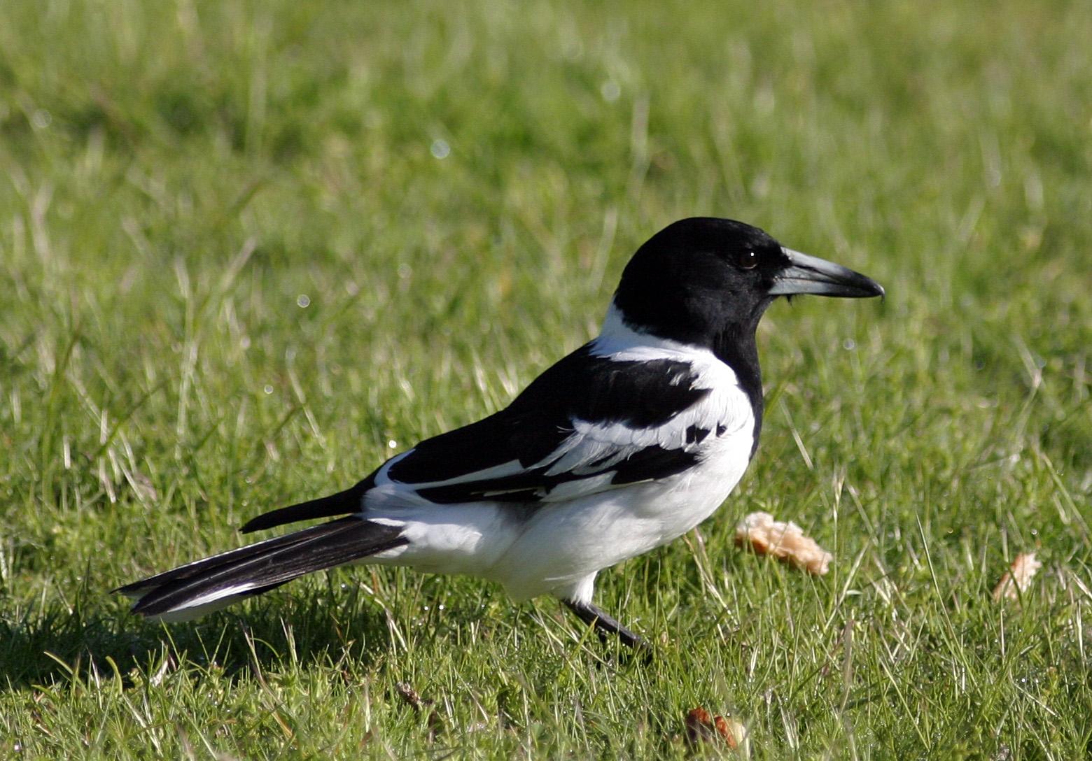 BirdLife Melbourne - Pied Butcherbird